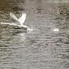 Starting Swan