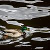 Duck On Moldawa