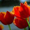 I've never seen tulips like thist.