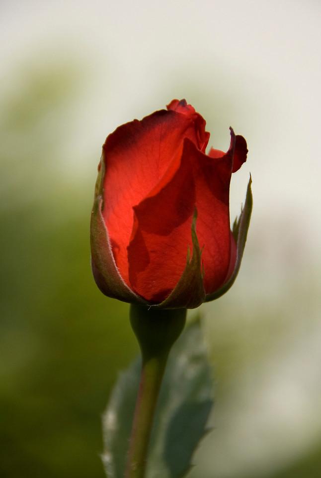 Rose in Prague