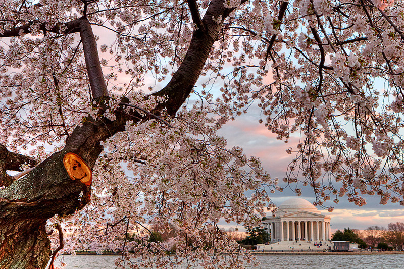 Cherry Blossoms at sunset. Washington D.C. 2009