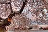 Cherry Blossoms at sunset. Washington D.C. 2009