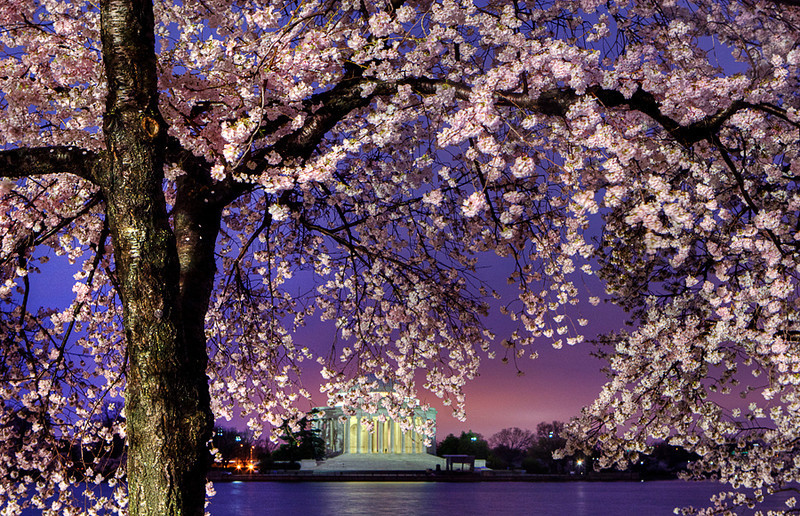 Cherry Blossoms at Dawn. Washington D.C., 2009.<br /> <br /> It had rained earlier in the morning. The lighting was beautiful in the early hours. I wish I could retake this scene with a different composition, but the cherry trees along the tidal basin don't look the same anymore.