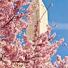 Cherry Blossoms, Washington D.C. 2006