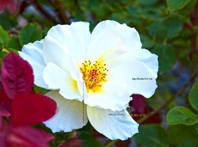_N9A8580white flower red leaf phd