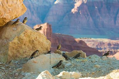 _N9A8804 Birds at Navajo Bridge AZ
