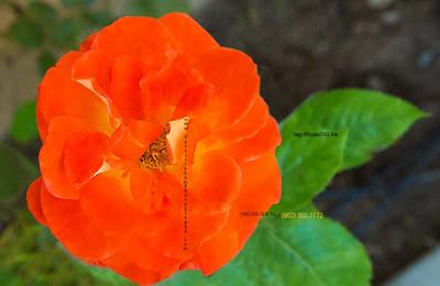 8576Orange Rose