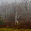 Maine Birches #3