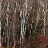 Maine Birches #1