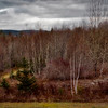 Maine Birches #2
