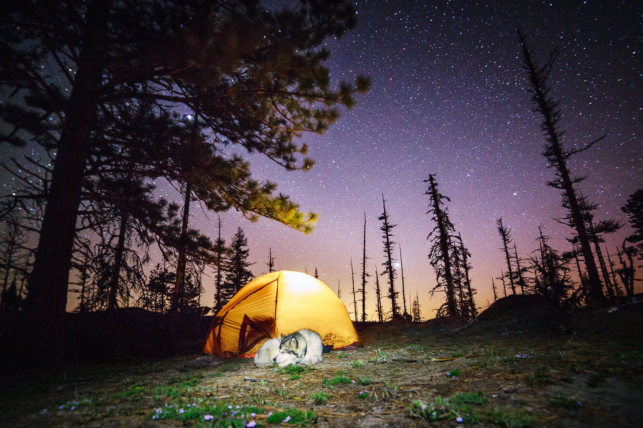 An Alaskan Malamute sleeping outside the tent under the stars near Lookout Mountain, Oregon.
