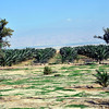 Many date palm tree farms are all around.
