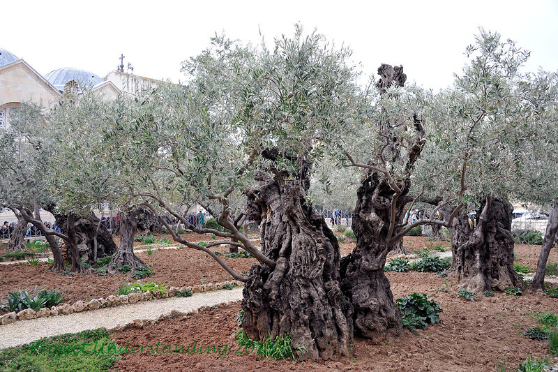 """Here is a grove of olive trees by the sight where tradition claims Christ experienced the """"Agony in the Garden."""""""