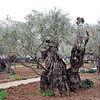 "Here is a grove of olive trees by the sight where tradition claims Christ experienced the ""Agony in the Garden."""