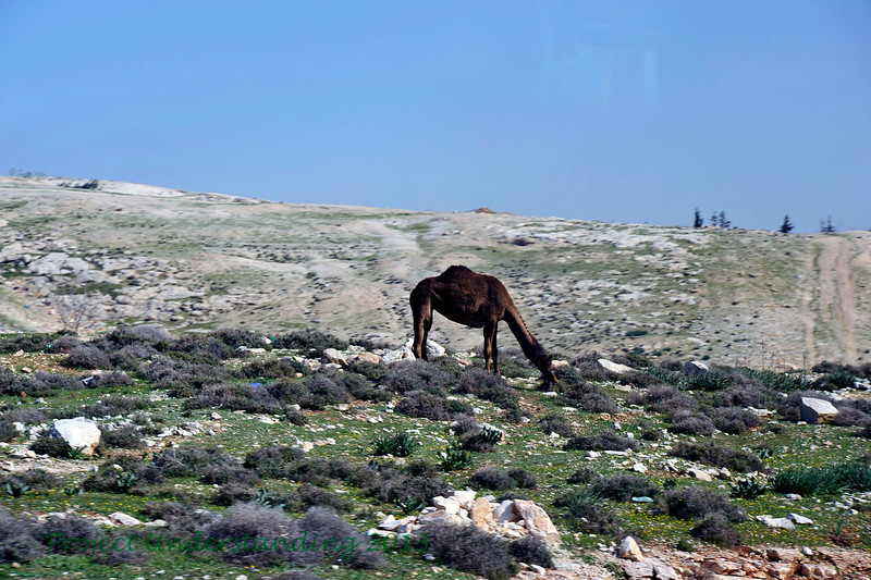 Then we boarded our bus and headed north to the Sea of Galilee.  We saw many things along the way, including camels and sheep grazing along the highway.