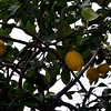 Lemon tree with fruit growing outside Sheva Chaya's studio.