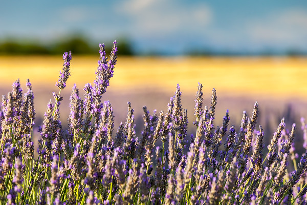Lavender field, Provence, France, 2012