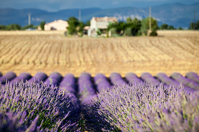Blooming rows of lavender, Valensole, Provence, France, 2012