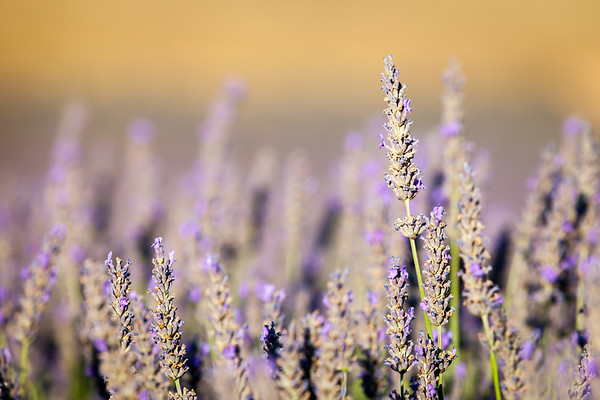 Blooming lavender, Plateau of Valensole, Provence, France, 2012