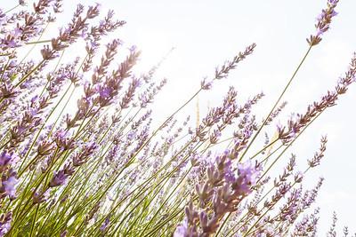 Lavender, Provence, France, 2013