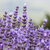 Detail of lavender, Vaucluse region, Provence, France