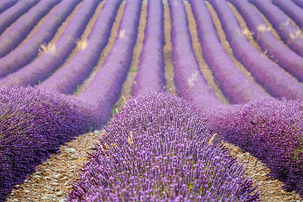 Lavender, Valensole, Provence, France, 2013