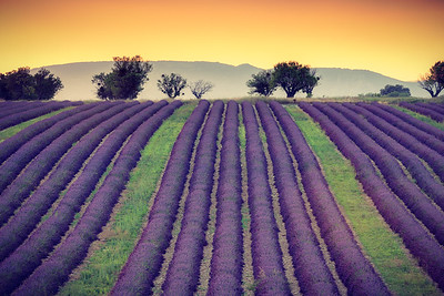 Lavender field, Provence, France, 2013
