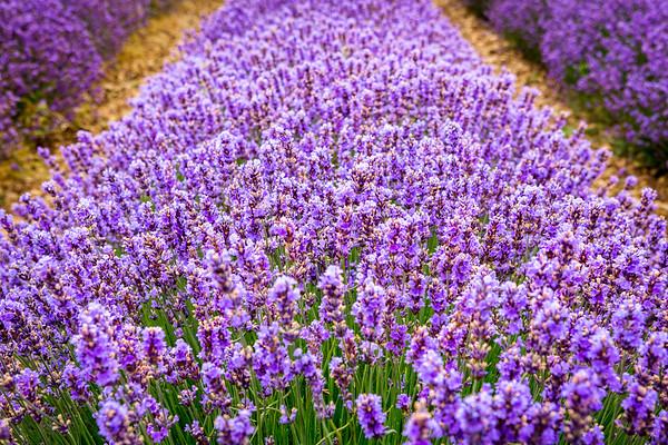 Lavender, Provence, 2017