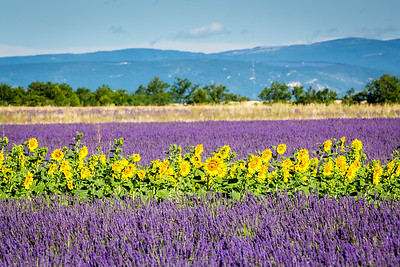 Flowers, Provence, 2017