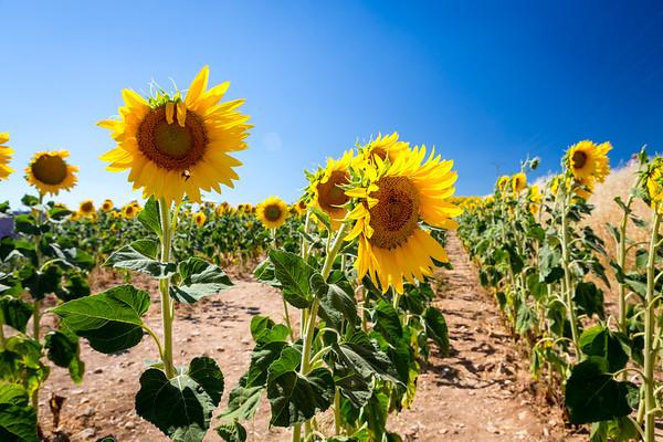 Sunflowers, Provence, 2017