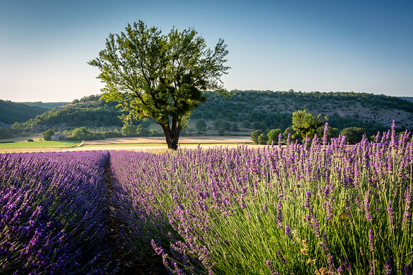 Lavender and tree, Provence, 2017