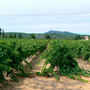 Typical Provencal vineyard along every road