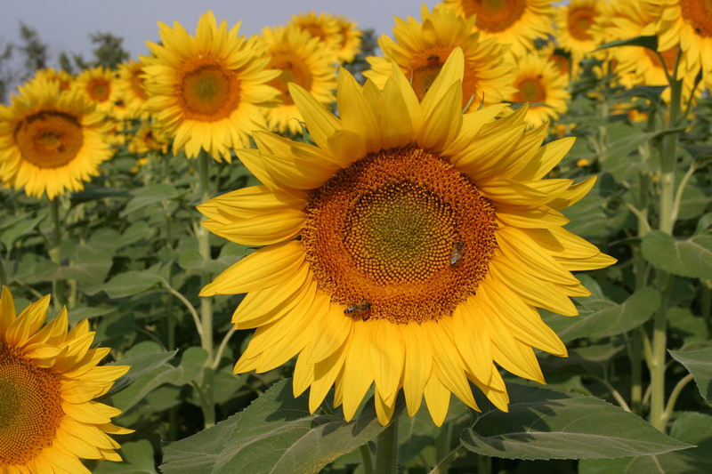 Sunflowers on the road to L'Isle sur la Sorgue.