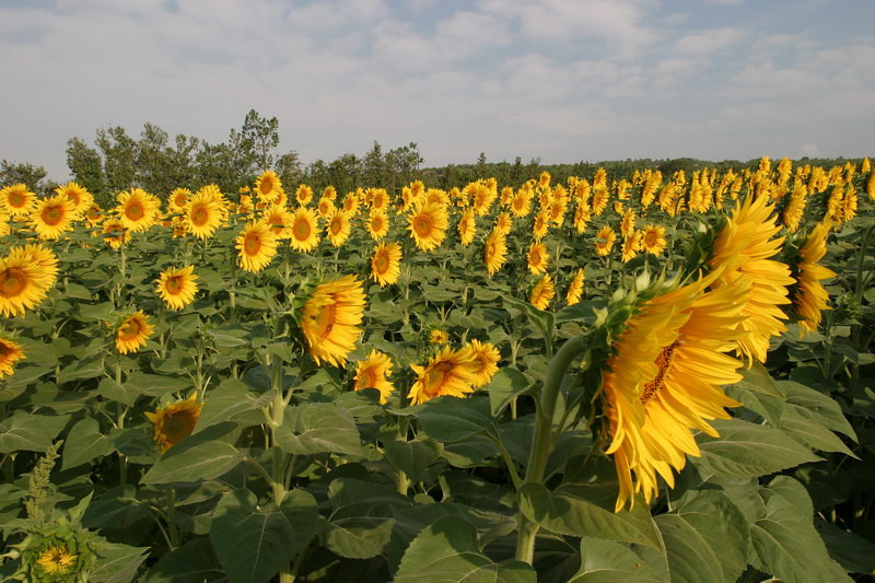 the field of sunflowers on the road to L'Isle sur la Sorgue.
