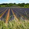 Lavender Field, Montclus