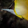 Forecepsfish