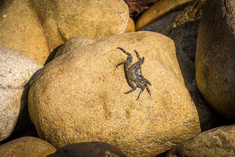 Crab along the rocks in Puerta Vallarta, Mexico -  April 2017