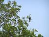 Cormorant in the trees