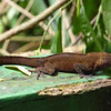 Lizard - Jardin Bontanico (Botanical Gardens, San Juan)
