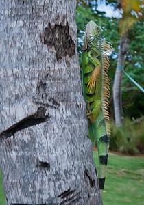 Iguana, Isla Vieques, Puerto Rico