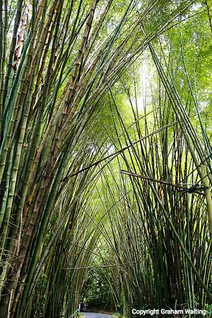 Nuture Pueto Rico bamboo trees