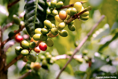 Coffee beans in Puerto Rico