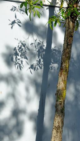 Old San Juan - Tree and Shadow