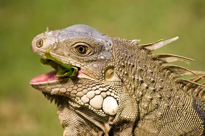 Green Iguana, Iguana iguana Rio Grande, Puerto Rico