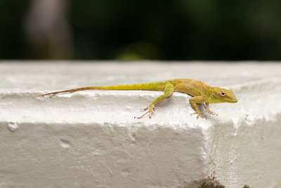 Anole El Yunque National Forest, Puerto Rico
