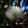 Calliandra haematocephala Alba