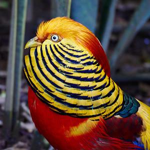 Golden Pheasan
