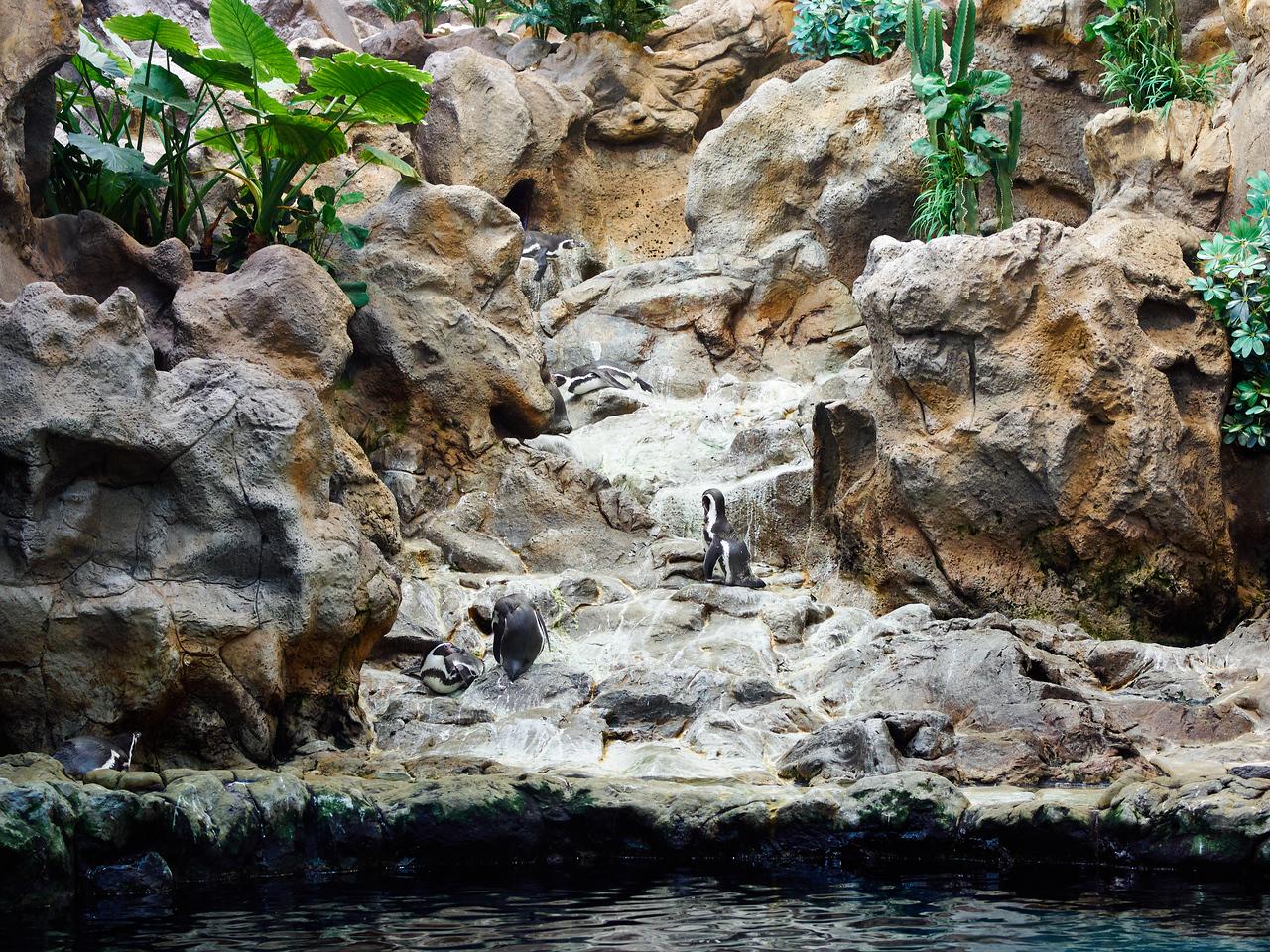 Humbold penguins