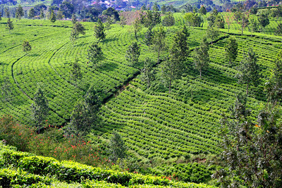 Tea plantation at Puncak.