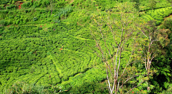 Tea plantations in Puncak